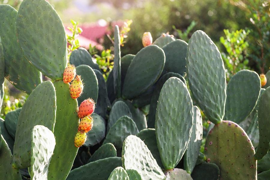 Eetbare cactus gecomprimeerd